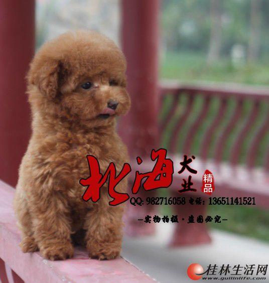 北京纯种泰迪犬多少钱一只