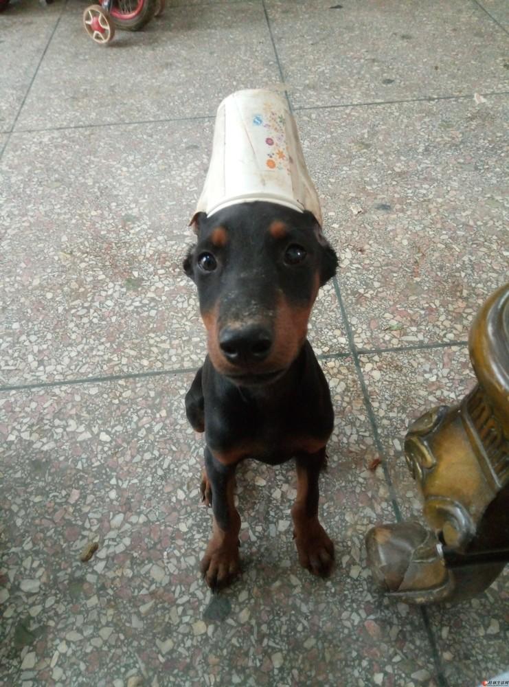 德系杜宾幼犬寻酷酷的粑粑麻麻