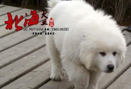北京纯种大白熊多少钱一只