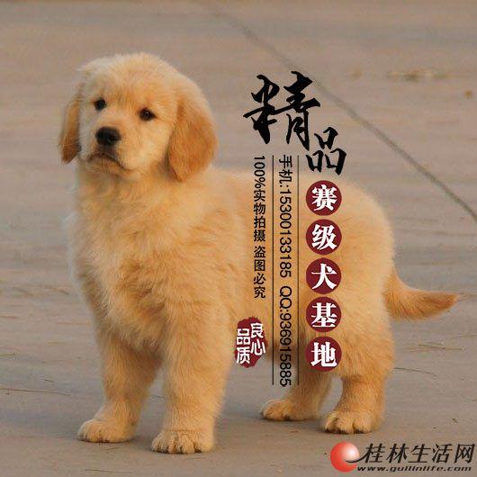 北京纯种金毛价格是多少