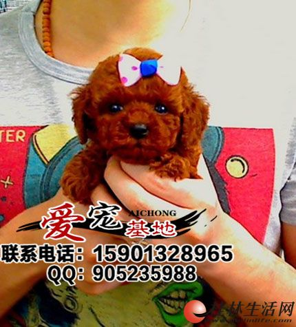 哪里出售纯种泰迪熊犬是什么价格