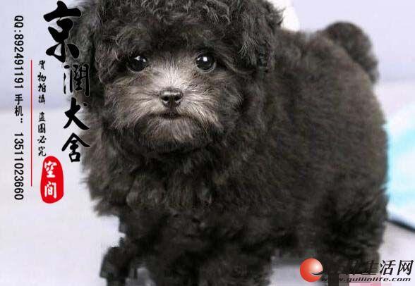 纯种幼犬泰迪多少钱一只  北京哪里有的泰迪好