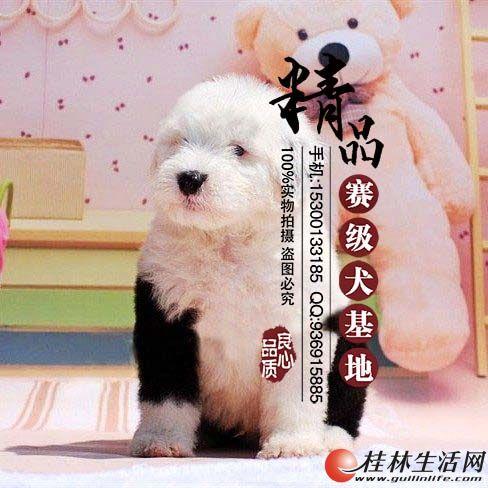 哪里有卖纯种古牧幼犬    多少钱一只
