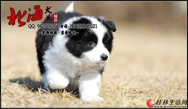 北京纯种边境牧羊犬多少钱一只