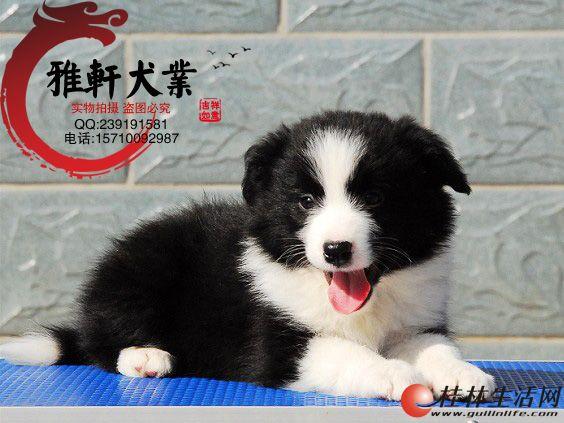 纯种家养边境牧羊犬七白到位陨石色冠军宠物赛级狗