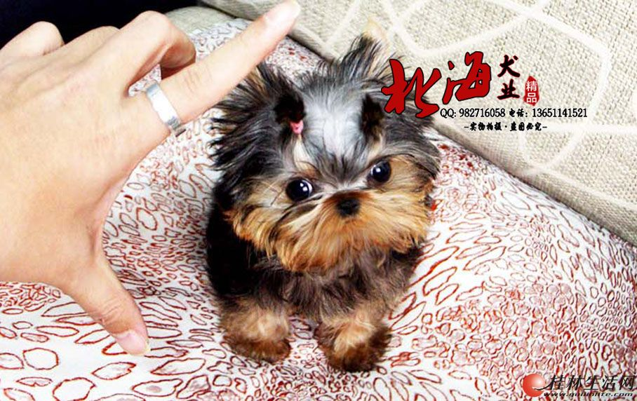 北京纯种英国斗牛犬多少钱一只