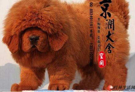 哪里的藏獒好  北京最大的犬舍
