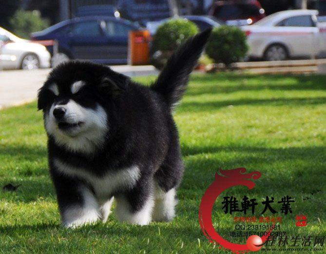 认证犬舍精品阿拉斯加雪橇犬待售 实物拍摄签订协议