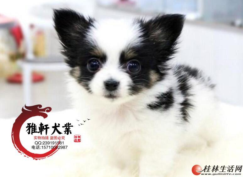 出售纯种高品质蝴蝶犬、蝴蝶幼犬 血统纯正 可来看狗