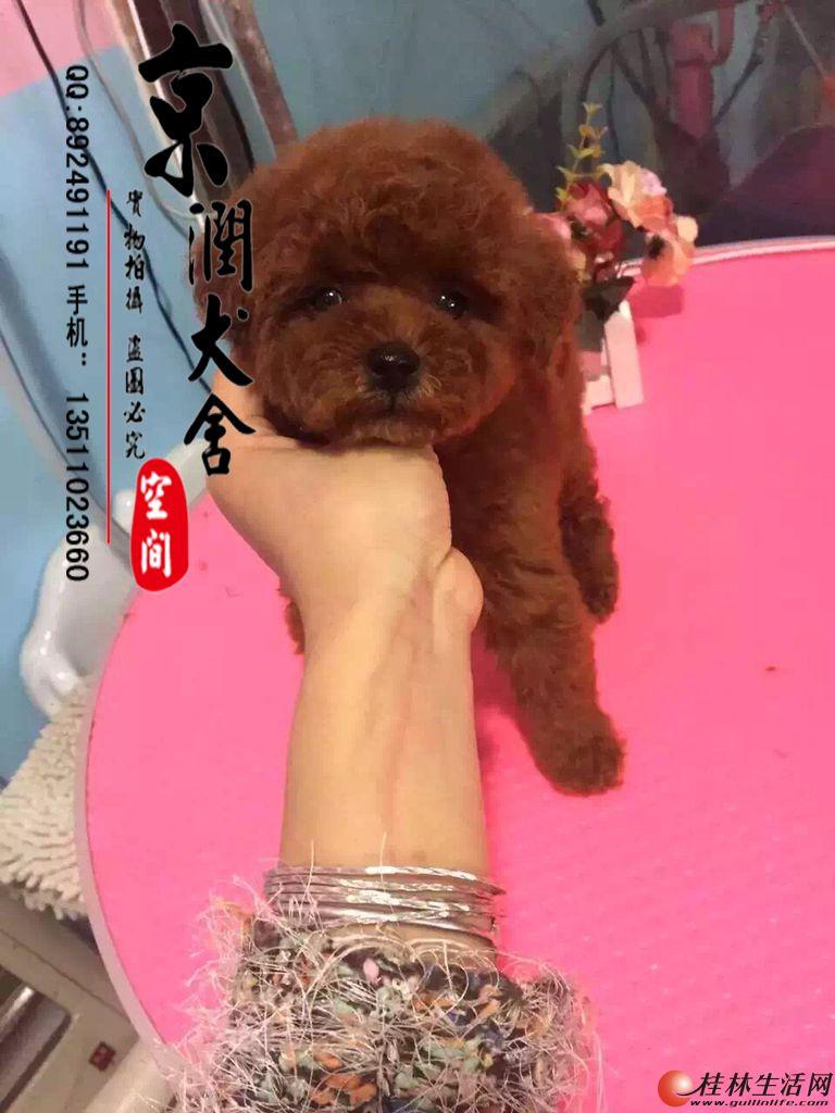 北京纯种泰迪多少钱一只    玩具体泰迪好养吗