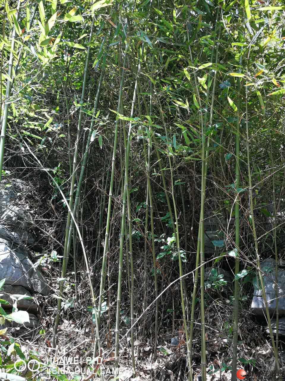 县城附近一千亩竹林山可砍伐