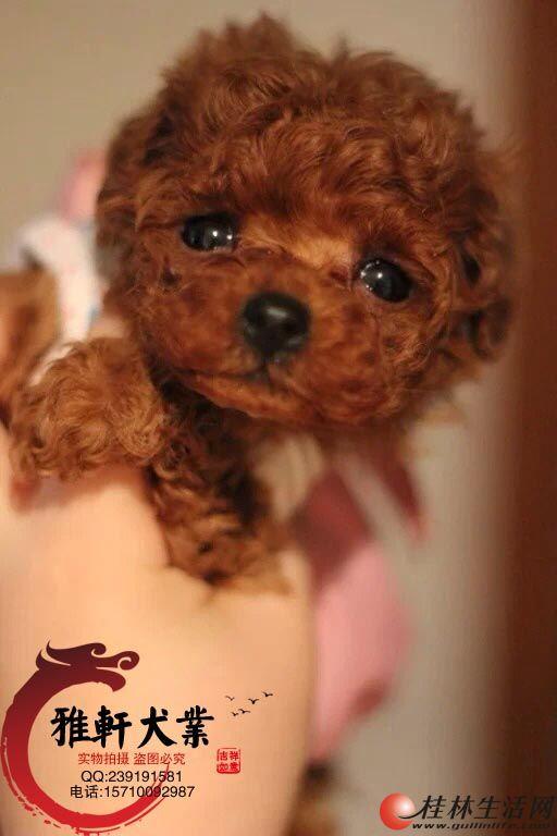 赛级泰迪犬 实拍 有血统 芯片 多只可选 免费送货