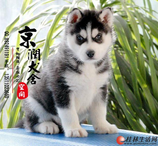 北京哪里出售纯种哈士奇幼犬的 赛级哈士奇多少钱