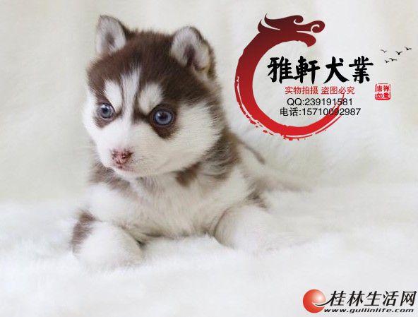 北京正规犬舍专业繁殖哈士奇哈士奇幼犬 五年销量第一