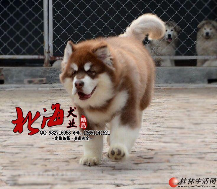 北京纯种阿拉斯加雪橇犬多少钱一只
