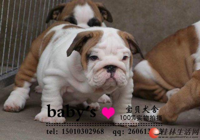 桂林纯种英国斗牛犬多少钱一只纯种英国斗牛犬价格