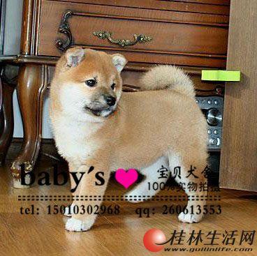 北京纯种柴犬幼犬多少钱一只好养吗