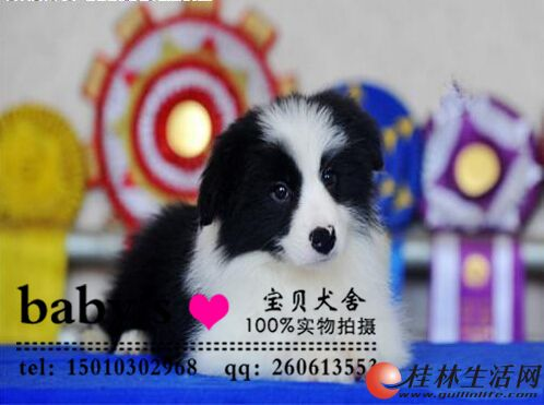 桂林纯种边境牧羊犬多少钱一只