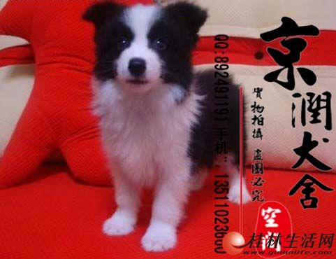 北京最大的边境牧羊犬繁殖基地  纯种边境牧羊犬多少