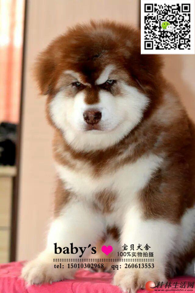 北京纯种阿拉斯加幼犬多少钱一只