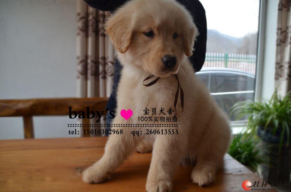哪里出售纯种金毛幼犬多少钱一只
