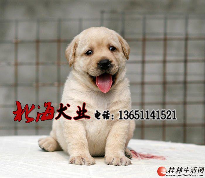 北京纯种拉布拉多犬多少钱一只