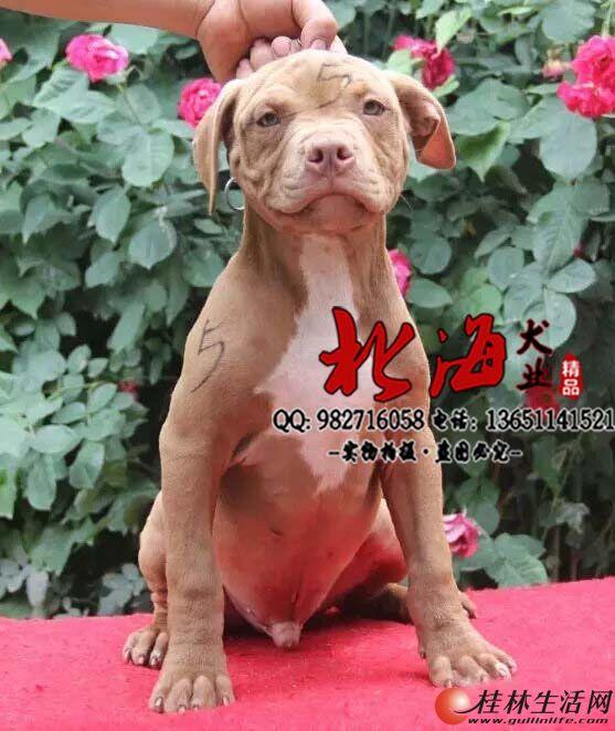 北京纯种比特犬多少钱一只