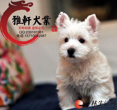 精心繁殖纯种健康赛级西高地幼犬聪明活泼可爱签订协议