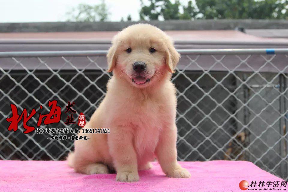 北京纯种金毛犬多少钱一只