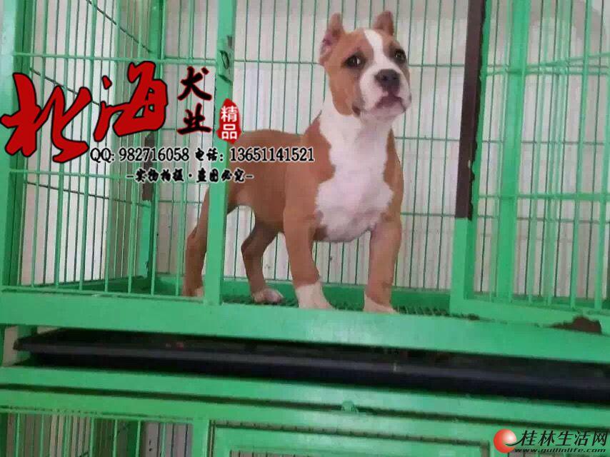 北京哪里有卖恶霸犬的