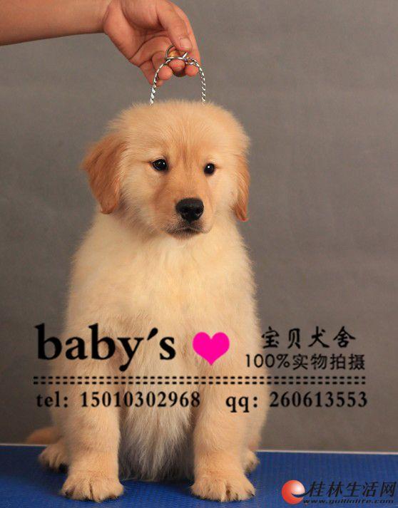 山东哪里有卖纯种金毛幼犬的 多少钱一只