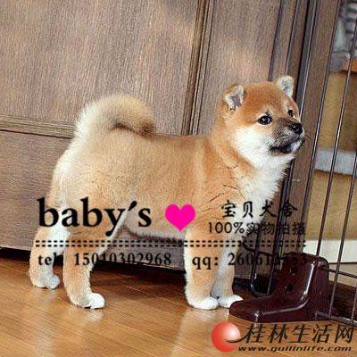 哪里出售纯种柴犬幼犬多少钱一只
