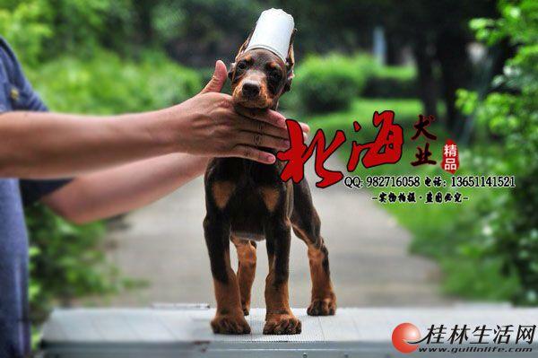 北京纯种杜宾犬多少钱一只