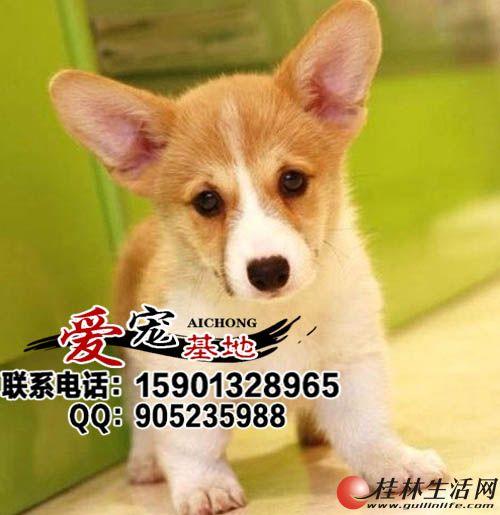 哪里出售纯种柯基犬多少钱一只