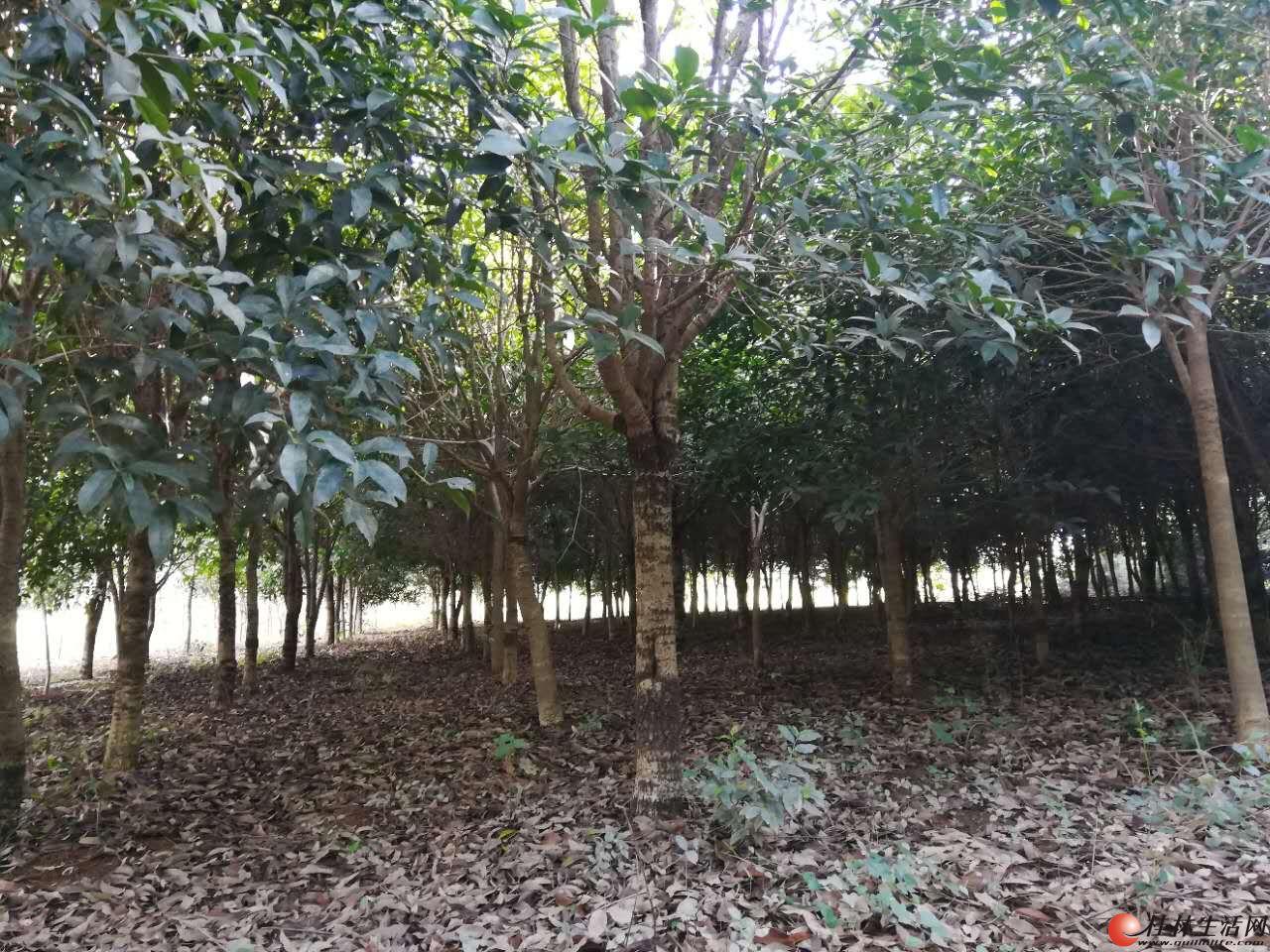 象山区本人有十几亩10--30公分桂花树及苗还有园林绿化苗木出售