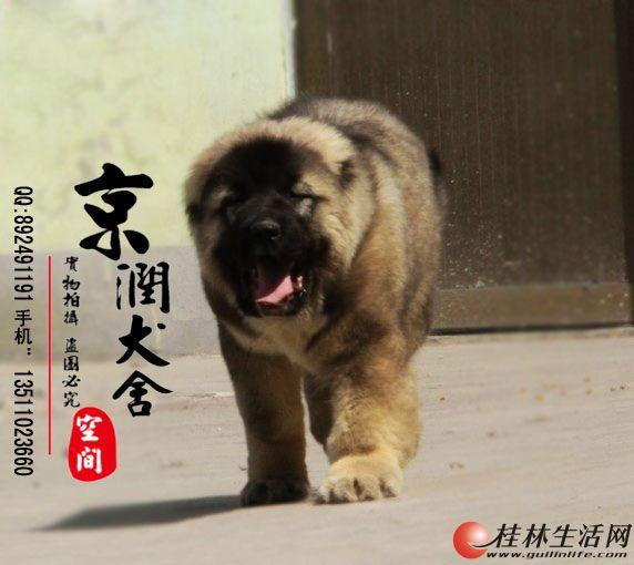 北京哪里有卖纯种高加索的  北京最大犬舍是哪里