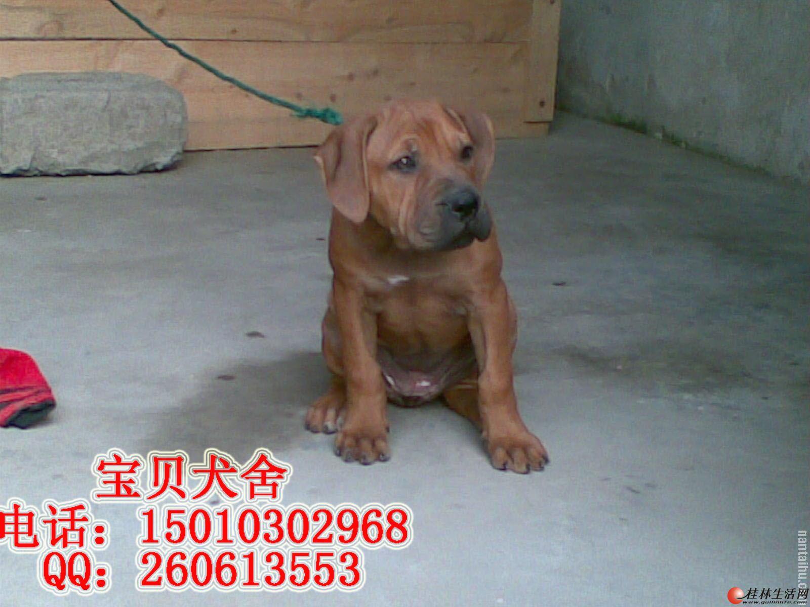 唐山纯种比特幼犬多少钱一只