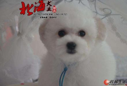 北京纯种比熊犬多少钱一只