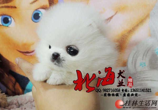 北京纯种博美犬多少钱一只