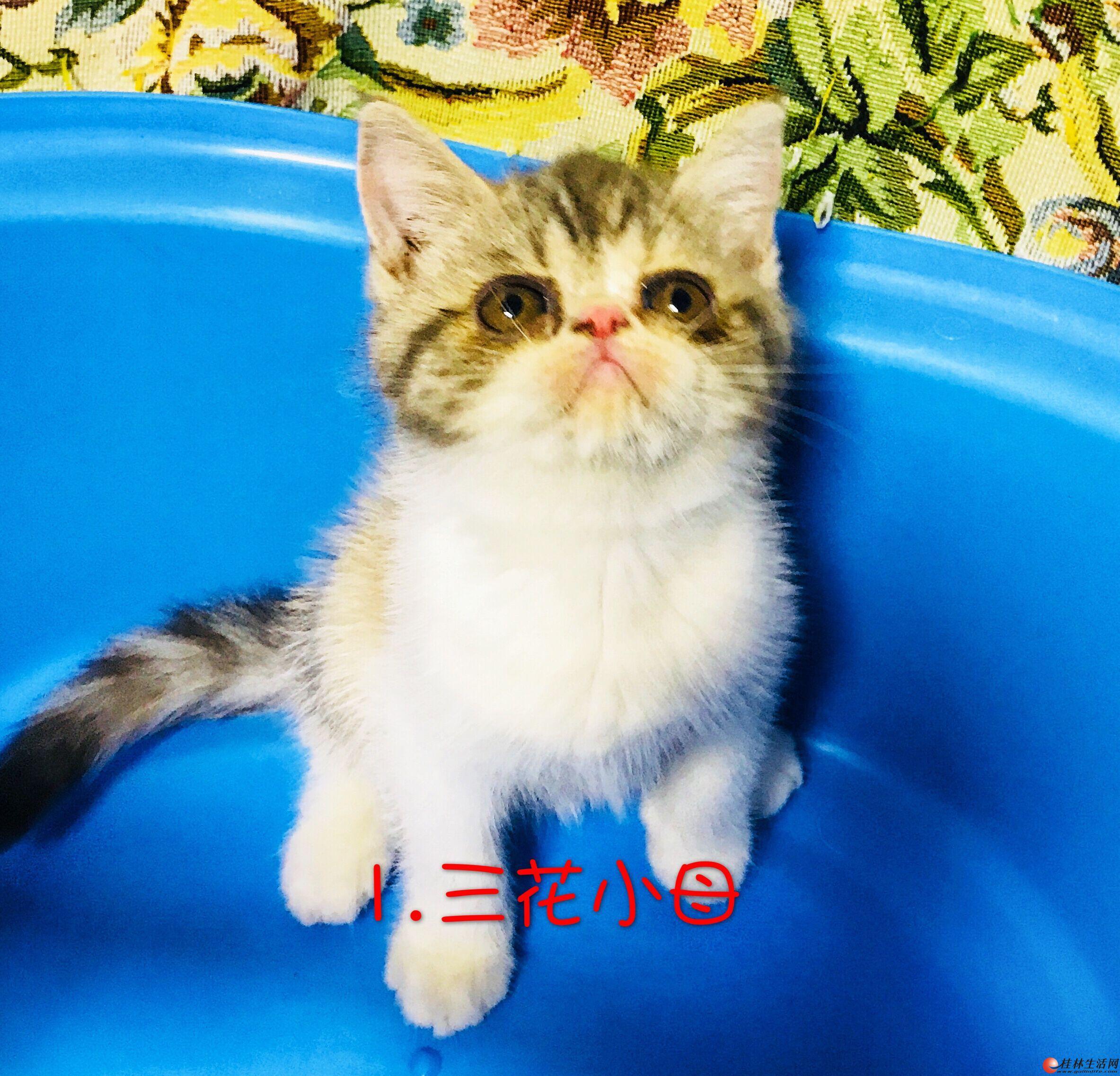 家养萌宠加菲猫幼仔出售