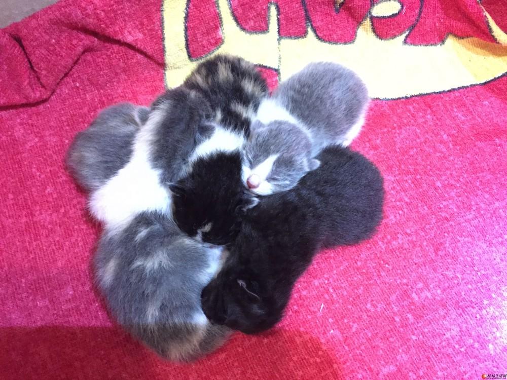 纯种英短折耳满月小猫出售