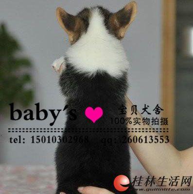 桂林哪里有卖纯种柯基幼犬的多少钱一只