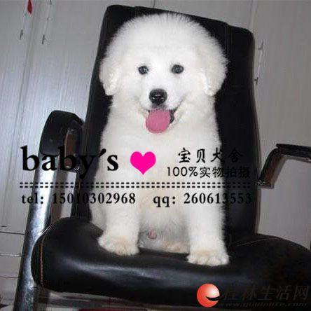 桂林哪里有卖纯种大白熊幼犬的多少钱一只