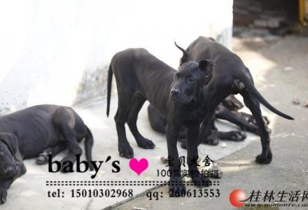 北京哪里有卖纯种大丹幼犬的多少钱一只
