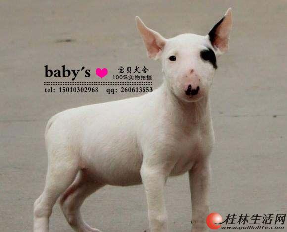山东哪里有卖纯种牛头梗幼犬的多少钱一只