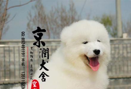 北京哪里的萨摩是纯种的 多少钱一只