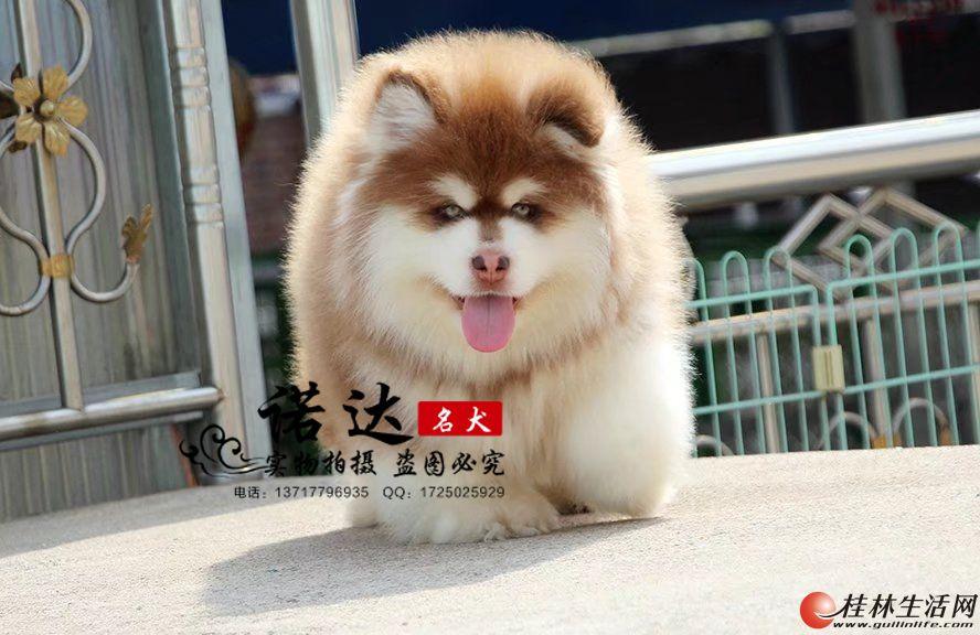 北京哪里有卖纯种巨型阿拉斯加犬的