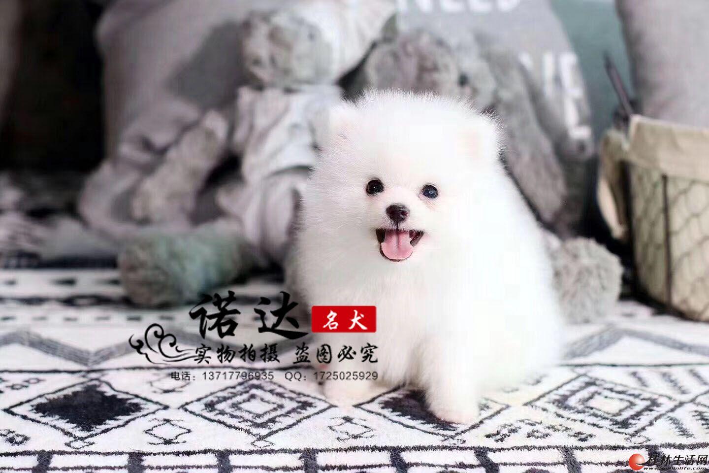 北京哪里有卖球体博美犬的