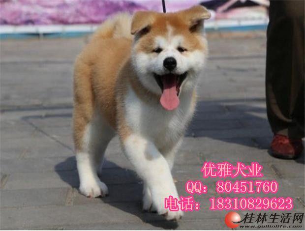 出售纯种秋田幼犬多少钱