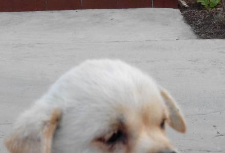 白色宠物狗寻找主人啦